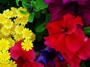 different flowers. Red, yellow, and purple