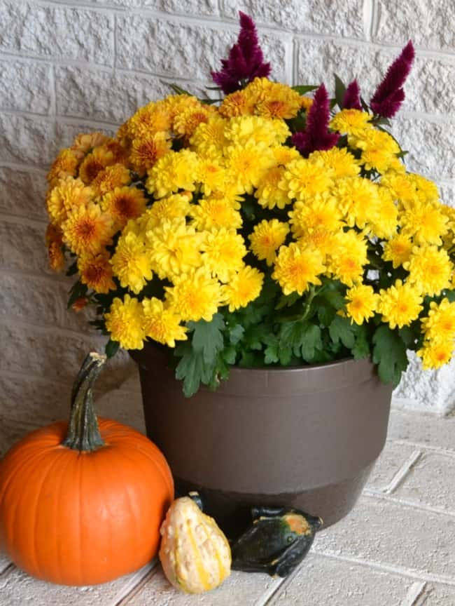 yellow flowers in a pot. a pumpkin, two gourds on a white brick background