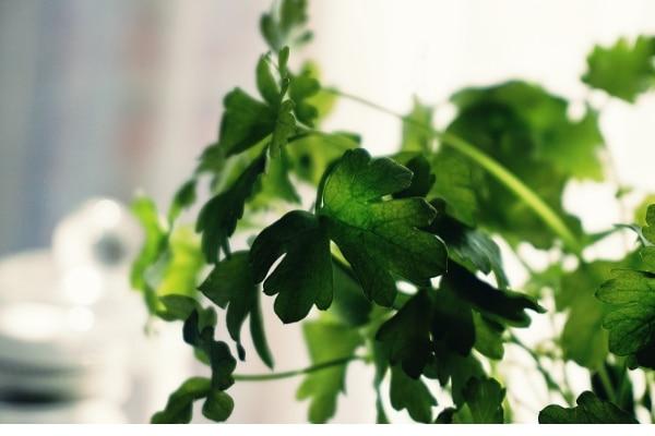 CILANTRO plant