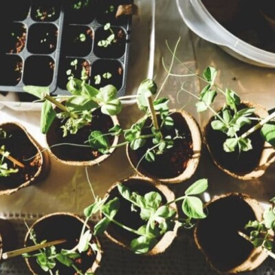 starting garden plants in pots in your house