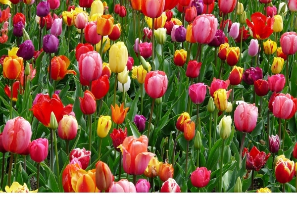 field full of all colors of tulips