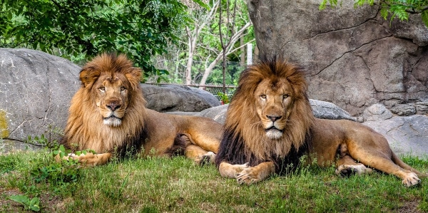 two lions on the grass with rocks behind them