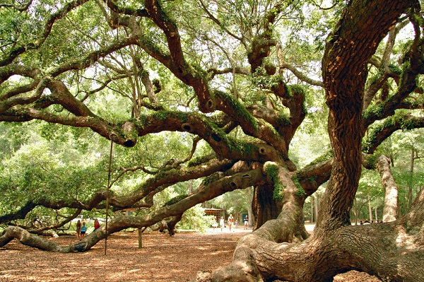 the famous angel oak tree in charleston sc