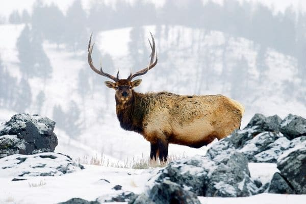 an animal with horns in the snowy mountains of Yellowstone